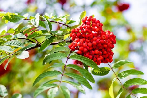 Rode bessen van de lijsterbes op de tak van een boom op een zonnige de zomerdag