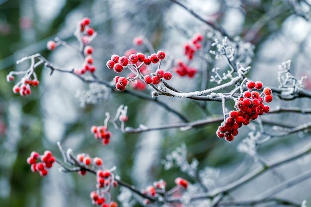 Rode bessen van lijsterbes in de winter op een boom