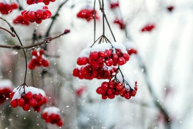 Rode bessen van viburnum in de winter op een boom tijdens een sneeuwval