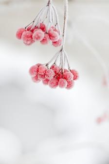 Rode bessen van viburnum.
