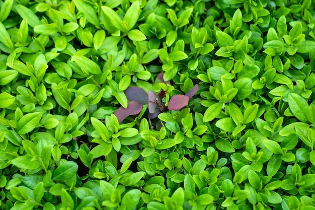Rode bladeren van berberis vonden hun weg door het groene bukshouttapijt.