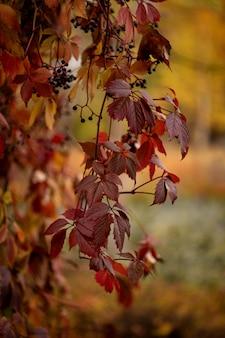 Rode bladeren van wilde druiven in de herfst tuin