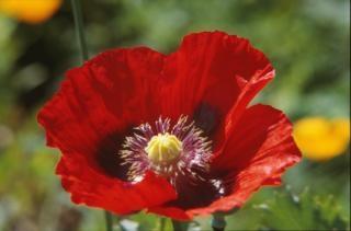 Rode bloem, bloei
