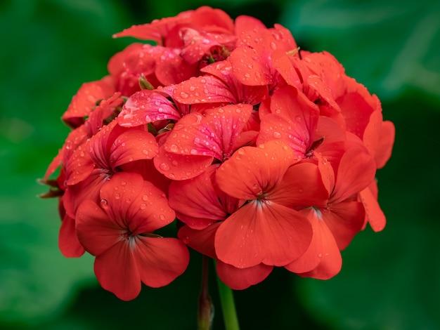 Rode bloem en regendaling