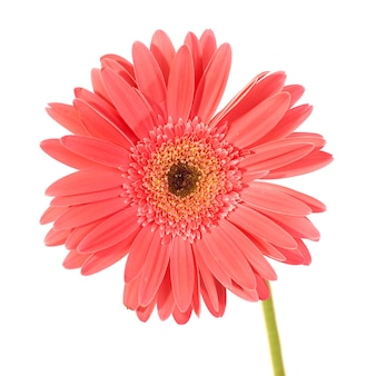 Rode bloem gerbera geïsoleerd op wit