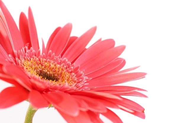 Rode bloem gerbera geïsoleerd