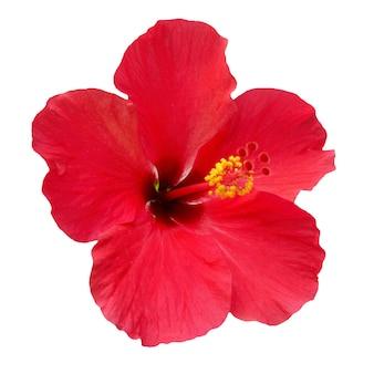 Rode bloem hibiscus rosa sinensis geïsoleerd