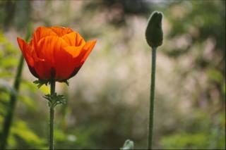 Rode bloem, macro