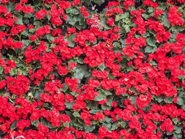 Rode bloem textuur achtergrond