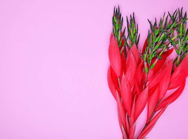 Rode bloem van billbergia