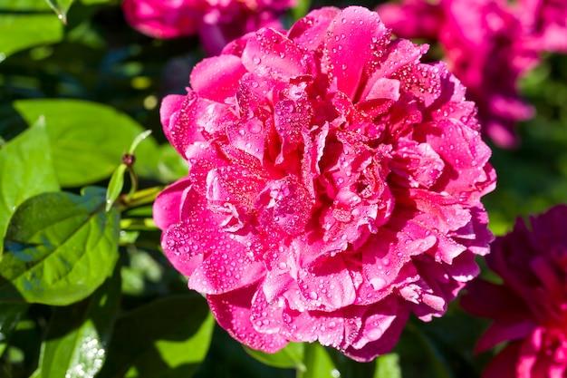 Rode bloemblaadjes van pioenroos