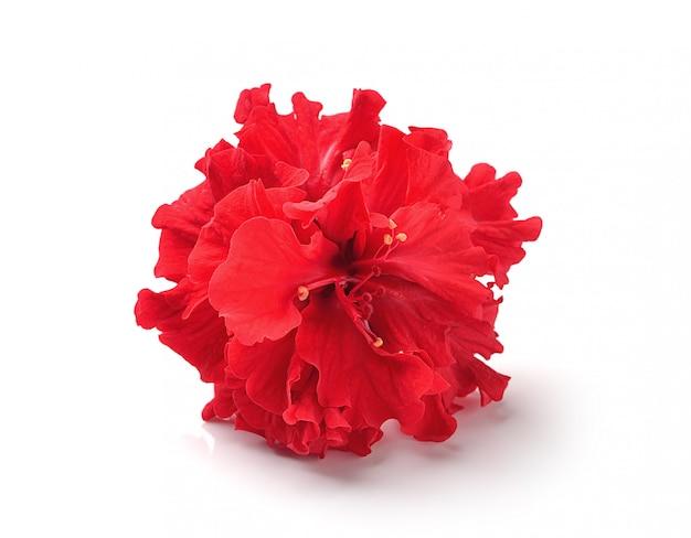 Rode bloemen die op witte ruimte worden geïsoleerd