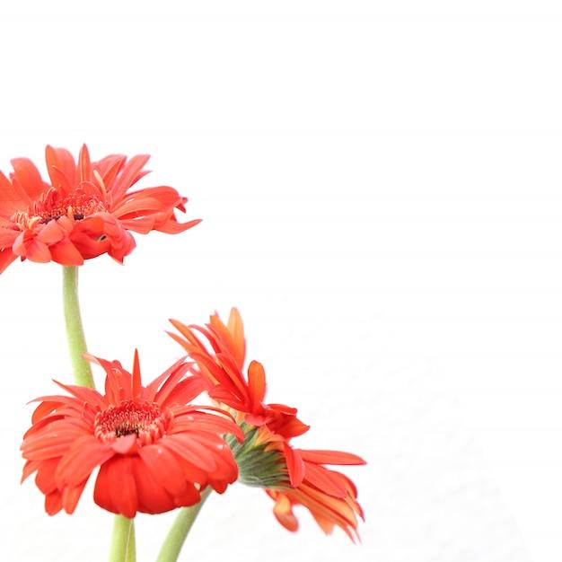 Rode bloemen op witte achtergrond voor verjaardag, verjaardag, bruiloft floral frame