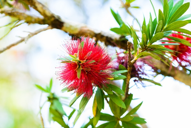 Rode bloemen van flessenborstelboom