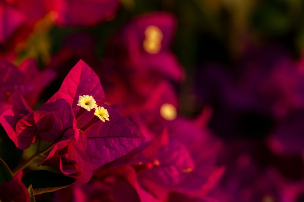 Rode bougainvillea bladeren