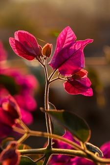 Rode bougainvillea laat achtergrondverlichting achter