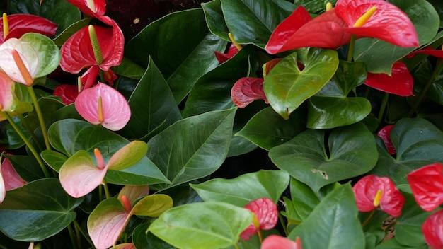 Rode calla lelie bloem donker groene bladeren elegant kastanjebruin bloemen bloesem exotisch tropisch oerwoud regenwoud stijlvol trendy botanische sfeer natuurlijk levendig groen paradijs esthetische aronskelk