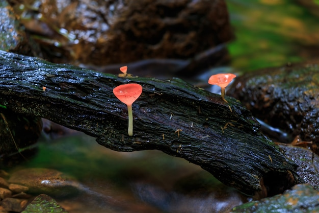 Rode champignons, roze brandkop paddestoel, tarzetta rosea (rea) dennis, pustuluria rosea rea