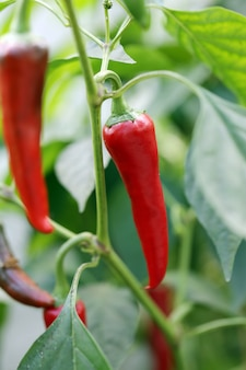 Rode chili pepers