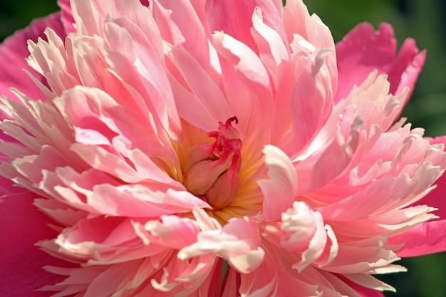 Rode chrysant