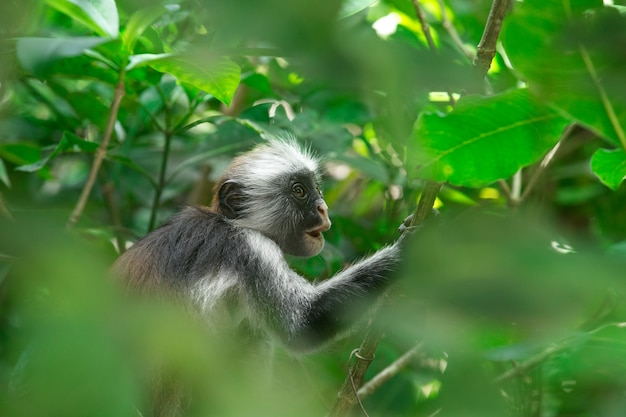Rode colobus piliocolobus kirki-aap op het afgezette hout, jozani-bos, zanzibar, tanzania