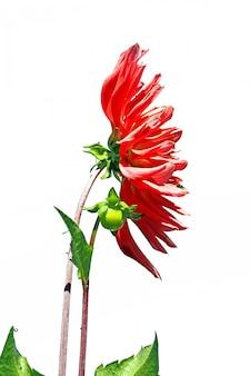 Rode dahlia op witte achtergrond