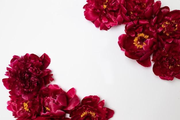 Rode die pione-bloem op wit wordt geïsoleerd
