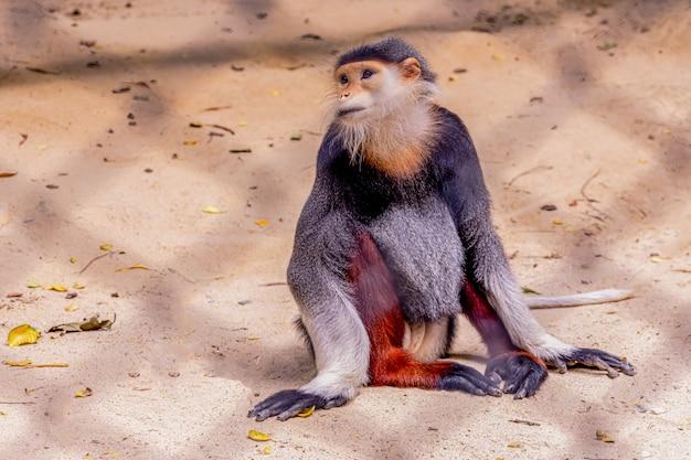 Rode douc langur / pygathrix nemaeus / een soort aap