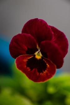 Rode driekleurige altviool in een zomertuin