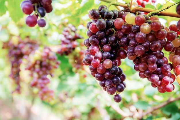 Rode druiven op boom met achtergrond.
