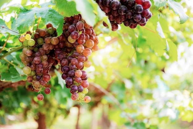 Rode druiven op boom met hemel.