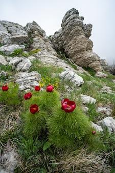 Rode dunbladige pioenroos op een ondergrond van rotsen
