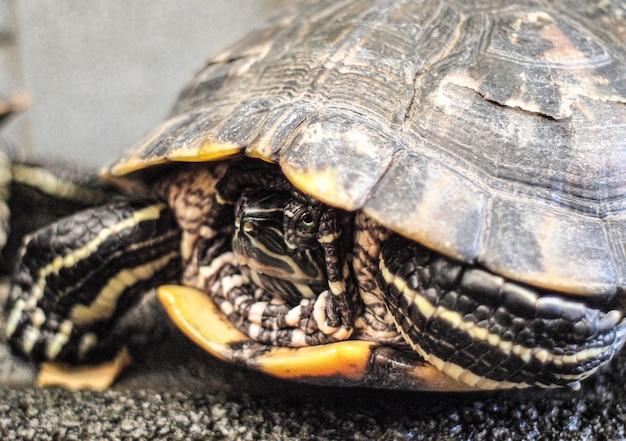 Rode eared schuifregelaar close-up. zijaanzicht huisdier schildpad roodwangschildpad