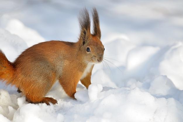Rode eekhoorn die speels over sneeuw springt