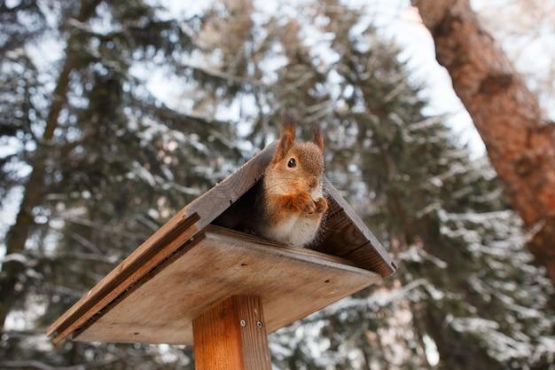 Rode eekhoorn in een houten trog in winterpark