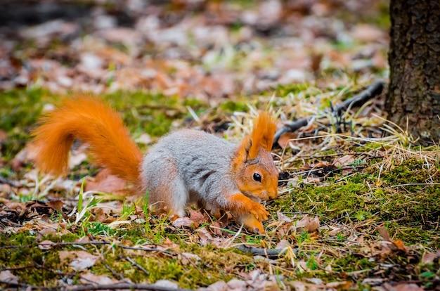 Rode eekhoorn in het bos die noten en eikels eet.