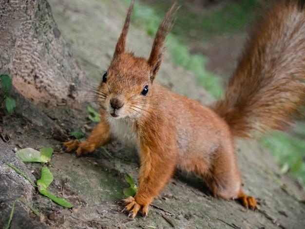 Rode eekhoorn in het parkclose-up.