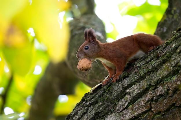 Rode eekhoorn in het wild
