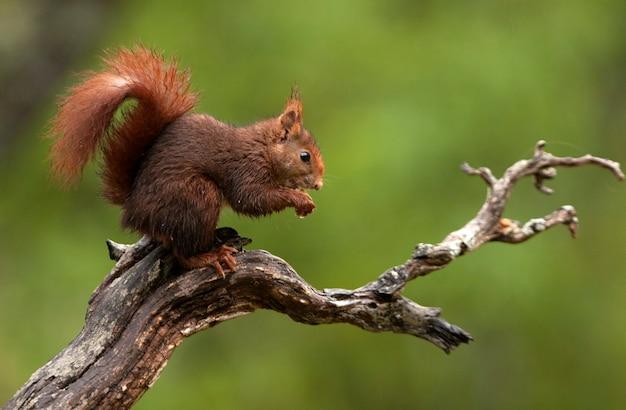 Rode eekhoorn met de eerste lichten van de dageraad op een regenachtige dag in de winter