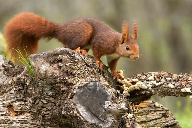 Rode eekhoorn met de eerste lichten van de dageraad op een regenachtige dag in de winter Premium Foto