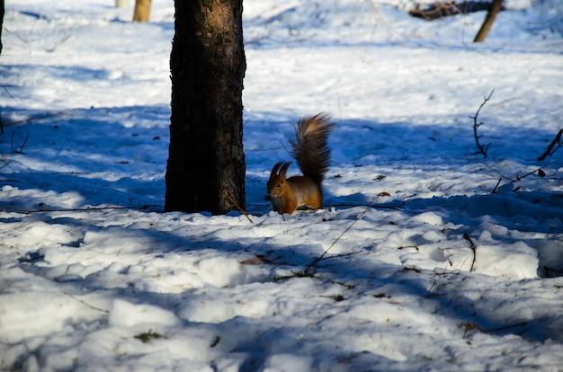 Rode eekhoorn op de sneeuw in stadspark