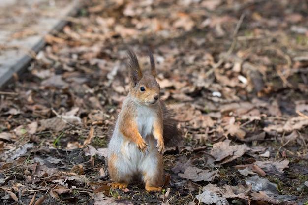 Rode eekhoorn op een boom
