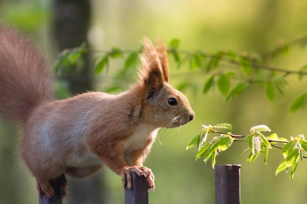 Rode eekhoorn op een metalen hek in de hoop een moer van voorbijgangers te krijgen