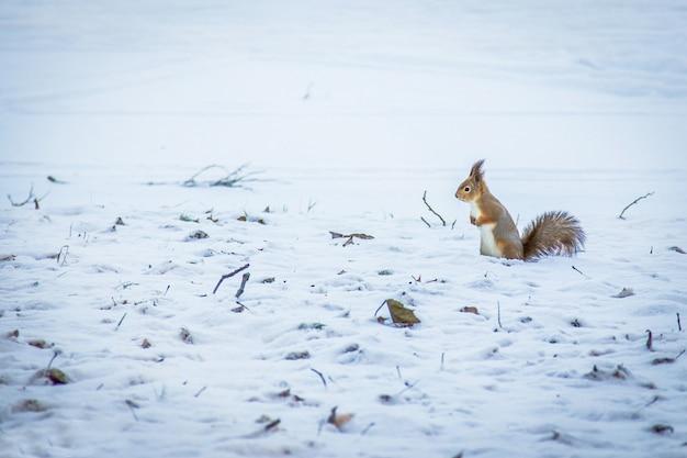 Rode eekhoorn poseren in het park. leuke rode eekhoorn kijken naar winters tafereel - foto met mooie wazig sneeuw achtergrond. eekhoorn in de winter, staande in vallende sneeuw. kopie ruimte