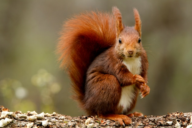Rode eekhoorn, sciurus vulgaris, eekhoorn, zoogdieren, dieren