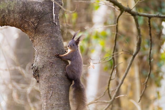 Rode eekhoorn uit het natuurpark van de rivier de sile