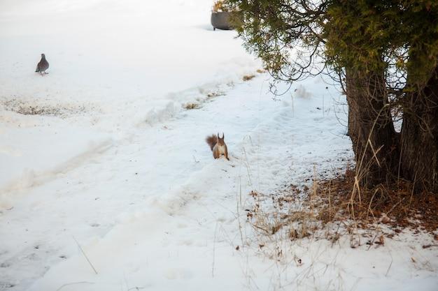 Rode eekhoorn voedende noten in de winter in de sneeuw