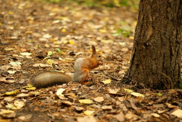 Rode eekhoorn zit onder een boom op een herfstgazon en eet iets