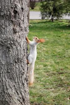 Rode eekhoorn zittend op de boom