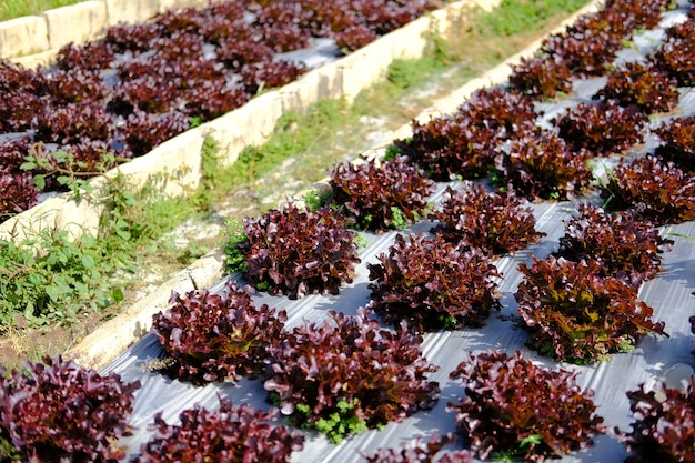 Rode eiken sla plantaardige plant groeit in tuin boerderij